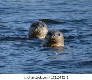 A harbor seal (Phoca vitulina) peers from the waters of Elkhorn Slough in California.