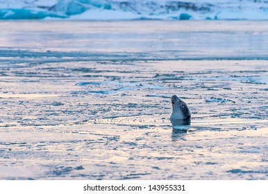 A harbor seal relaxes in the icy waters of Jokulsarlon, Iceland.