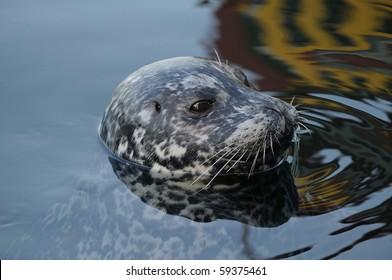 Harbor seal swimming in inner harbor, victoria, british columbia, canada