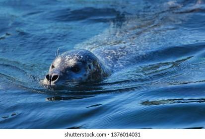 Harbor seal that found in temperate and Arctic marine coastlines