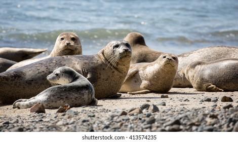 Harbor Seals (Phoca vitulina) Posing in Fitzgerald Marine Reserve, Moss Beach, California,USA. Alert Seals in the Pacific Coast beaches.
