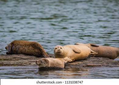Harbor Seals (Phoca vitunlina) bask in the sun along the Damariscotta River, Maine, on a sunny afternoon