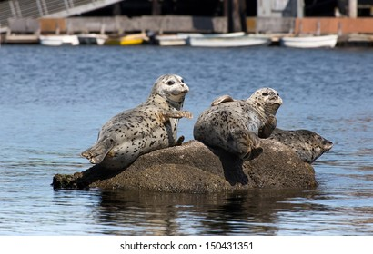 Harbor Seals at Rest on Rocks in Monterey Bay, California