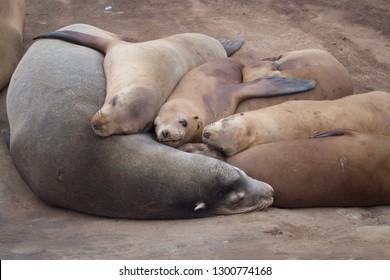Harbor Seals Sleeping on the Beach
