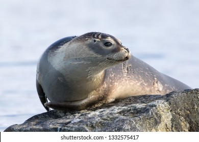 Harbour Seal hauled out on a rock, photographed in Svalbard