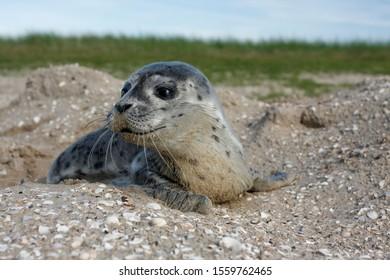 Harbour Seal (Phoca vitulina), pup, East Frisian Islands, East Frisia, Lower Saxony, Germany