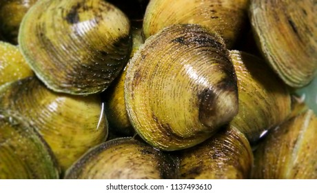 The hard clam (Mercenaria mercenaria), also known as a tapalang, Kabibe quahog, round clam, or hard-shell clam, is an edible marine bivalve mollusc that is native to the Philippines.