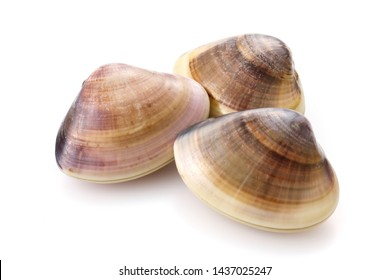 Hard clam on white background