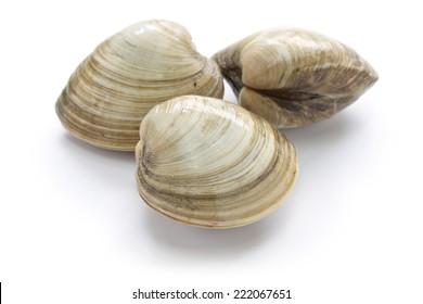 hard clam, quahog isolated on white background