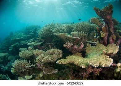 Hard coral garden with sun rays