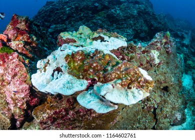 Hard corals  on a tropical reef starting to bleach themselves white and die due to warming sea temperatures