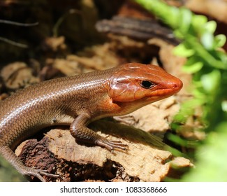 It's hard for a male Broadhead skink (Plestiodon laticeps) to stay hidden during mating season since his colors become so vibrant. Luckily for him, mating season is very short.