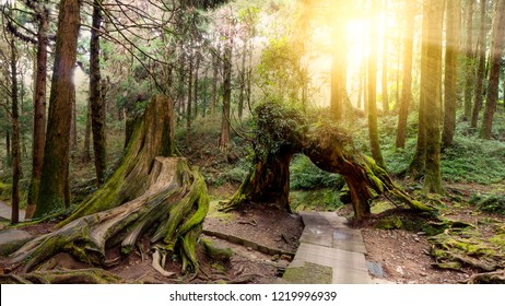Hard sunlight shine over big tree in the forest at Alishan National Park, Taiwan.