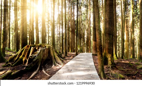 Hard sunlight shine over tree and walk way in the forest at Alishan National Park, Taiwan.