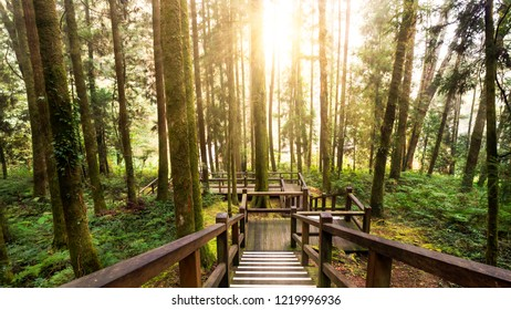 Hard sunlight shine over tree and wood walk way in the forest at Alishan National Park, Taiwan.