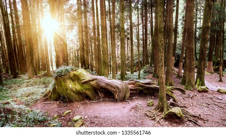 Hard sunlight shine over tree in the forest at Alishan National Park, Taiwan.