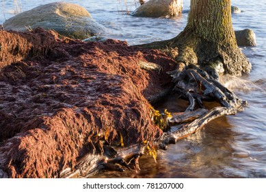 Hard winds and flooding has piled seaweed on the shore. Tree roots exposed when beach has eroded away.