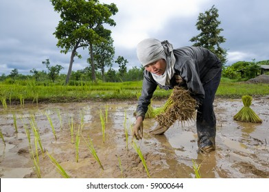 an hard working asian female farmer growing rice