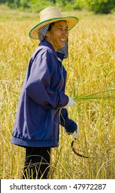 hard working woman cutting rice in the fields