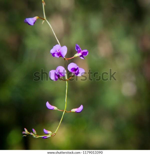 Hardenbergia violacea aka false sarsaparilla, purple coral pea, happy wanderer, native lilac and waraburra, Climbing vine with purple flowers.
