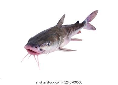 The hardhead catfish (Ariopsis felis).    Isolated on white background