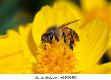 hardworking bee busy pollinating a bright yellow daisy