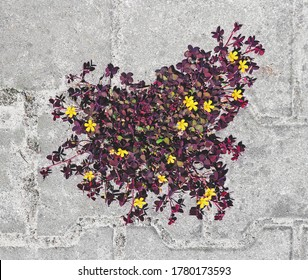 A hardy beautiful plant grew in the gap between the pavement tiles. Oxalis corniculata with multicolored burgundy-green leaves and yellow flowers. Nature versus man.