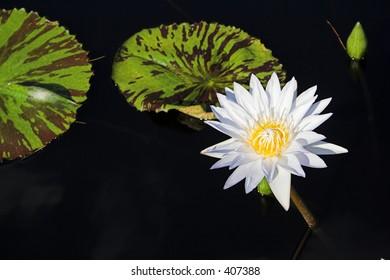 Hardy Day-Flowering Waterlily nymphaea helvola
