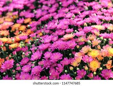 hardy mum flower in the Fall season