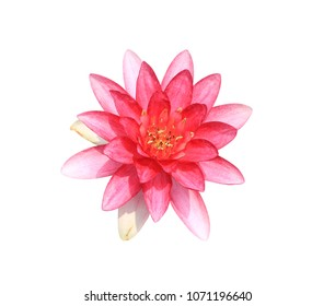 Hardy water lily, Nymphaea sp. and hybrid,  Nymphaeaceae, pink-red lotus flower isolated on white background. with clipping path