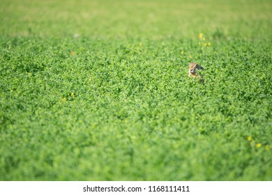 hare hidden in a clover field - Burgenland Austria