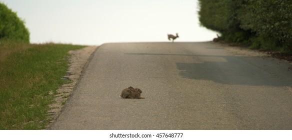 Hare lying on asphalt road in hot summer