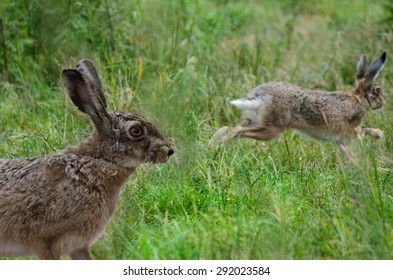 Hare in the Meadow, sharpness on the eye