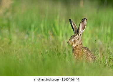 Hare, natural, wildlife