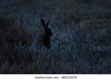 A hare on a field at night