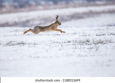 Hare runnig on snowy field