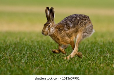 hare is running in the beautiful light on green grassland,european wildlife, wild animal in the nature habitat, , lepus europaeus