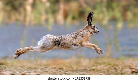 Hare running in a meadow