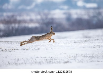 Hare running on snowy field