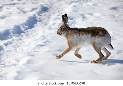 Hare runs on white snow in winter
