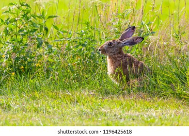 Hare sitting on meadow. Copy space.