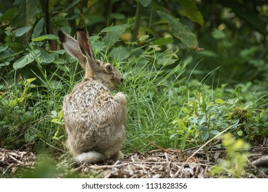 Hare in the woods wildlife wild animals