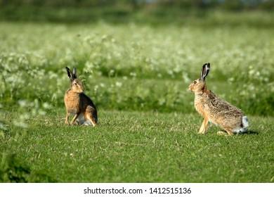 Hares on Schiermonnikoog, the Netherlands