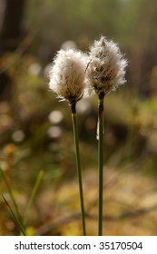 hare's tail cottongrass