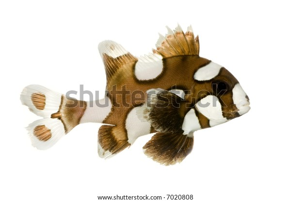 Harlequin or clown sweetlips in front of a white background