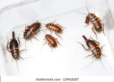 Harlequin Cockroach - Neostylopyga Rhombifolia with egg sack in plastic box