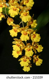 A harlequin 'dancing lady' orchid, Oncidium Variegatum, common in Hawaii and Australia - also know as a butterfly plant.