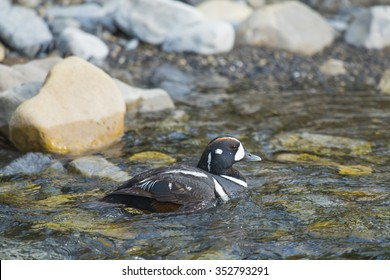 Harlequin Duck swimming in a mountain river