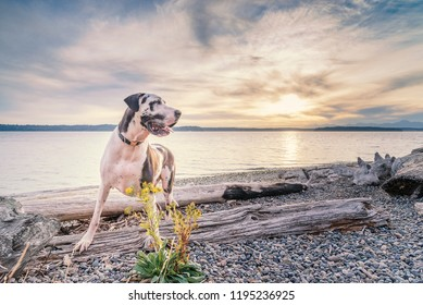 Harlequin great dane dog enjoying a pacific northwest park with flowers and driftwood at sunset.