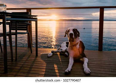 Harlequin great dane dog laying on sea view deck at sunset.
